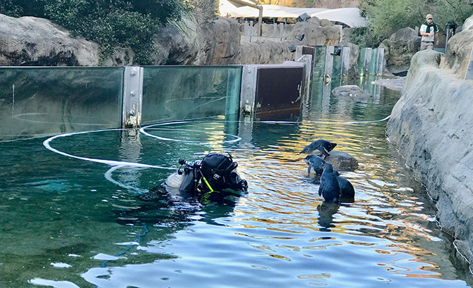 PDS commercial diver in penguin enclosure at Zoo