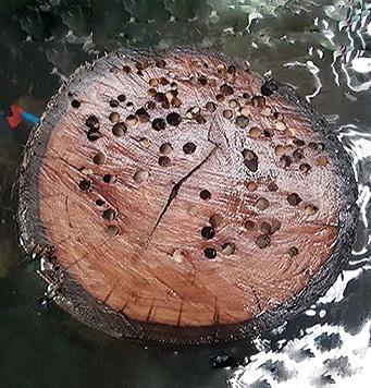 Marine borer infested pile
